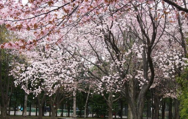 花見は近間で_c0360399_22365271.jpg