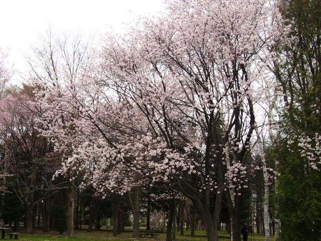花見は近間で_c0360399_22371399.jpg