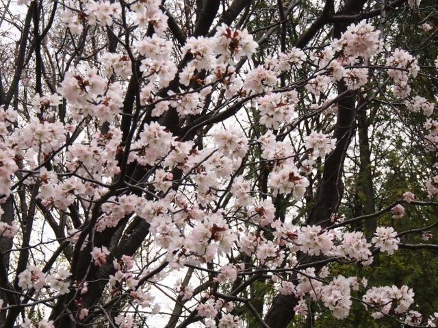 花見は近間で_c0360399_22383808.jpg