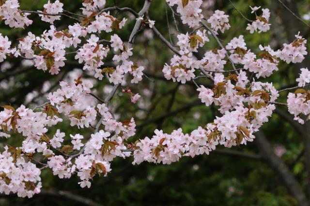 花見は近間で_c0360399_22391520.jpg