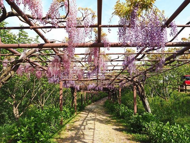 種松山(藤・キショウブ)  (5月1日)_a0242438_10302029.jpg