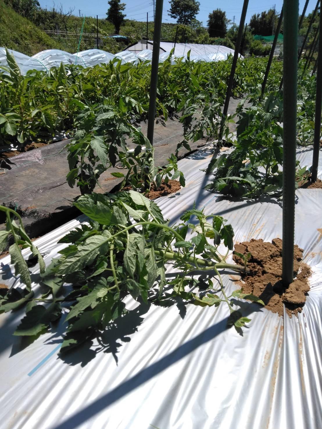 トマトの櫓建て・・・・脇芽摘み・・・・_c0222448_14490201.jpg