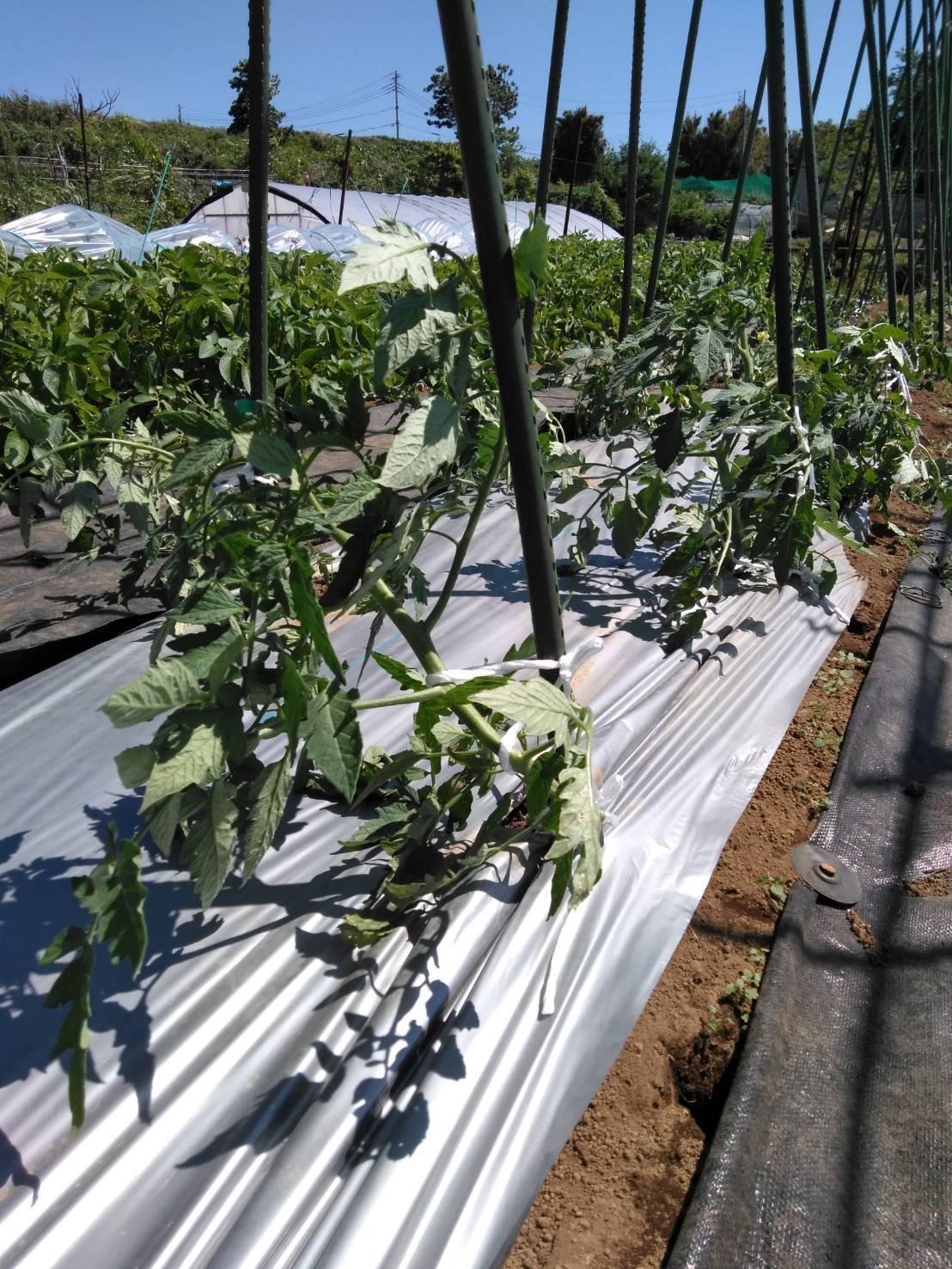 トマトの櫓建て・・・・脇芽摘み・・・・_c0222448_14491077.jpg