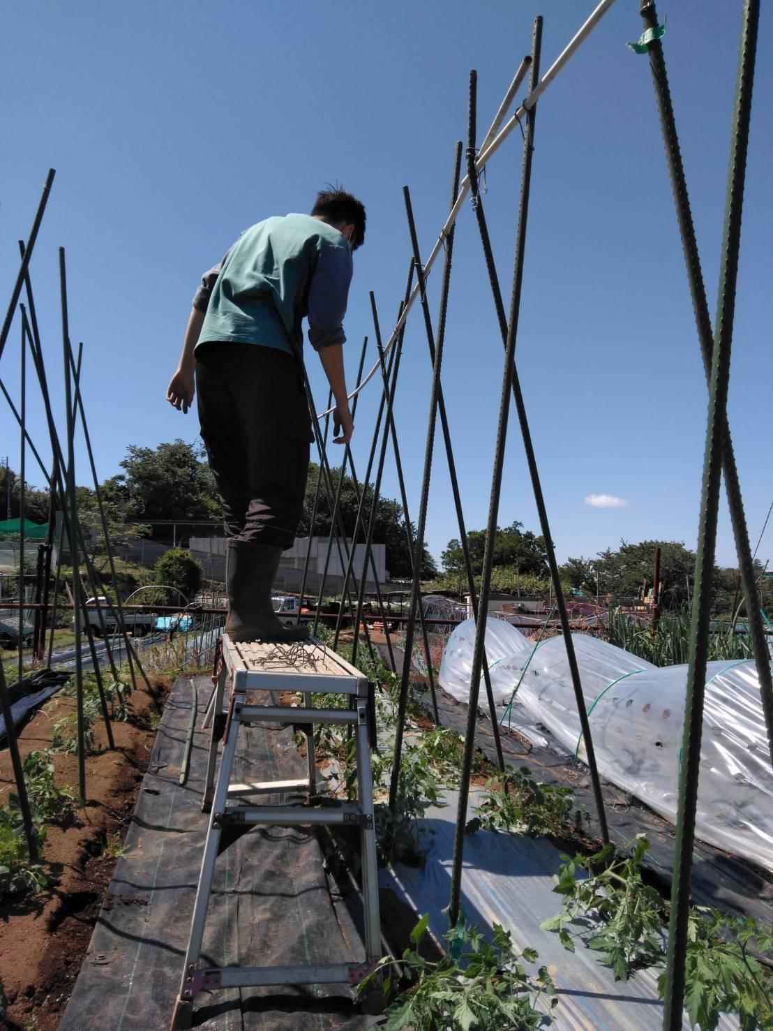 トマトの櫓建て・・・・脇芽摘み・・・・_c0222448_14492273.jpg