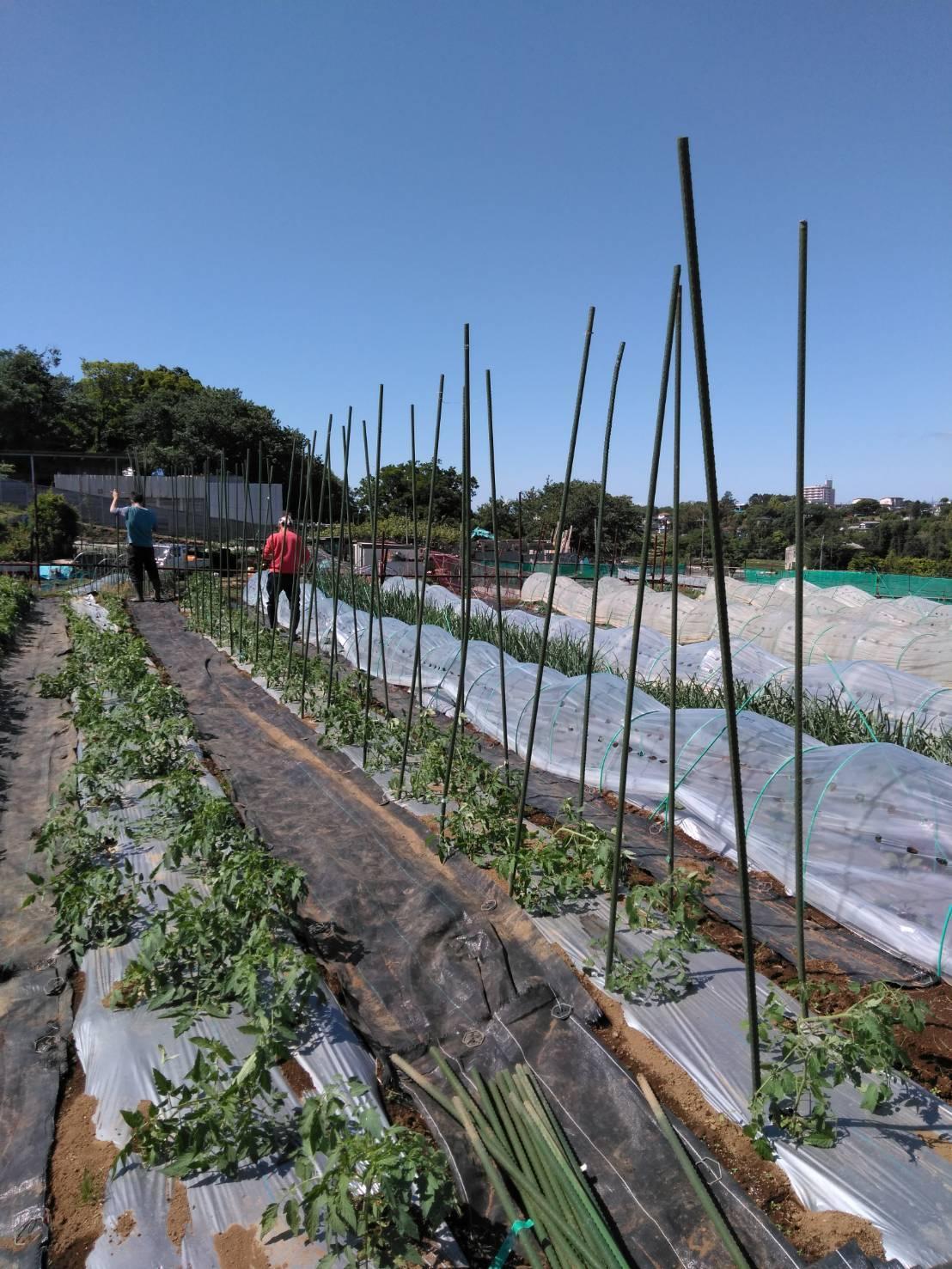 トマトの櫓建て・・・・脇芽摘み・・・・_c0222448_14493374.jpg