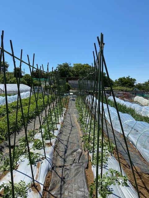 トマトの櫓建て・・・・脇芽摘み・・・・_c0222448_14494394.jpg