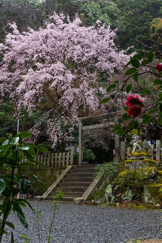 2021桜咲く京都 雨中のしだれ桜(大豊神社)_f0155048_23263433.jpg