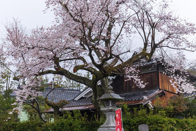 2021桜咲く京都 雨中のしだれ桜(大豊神社)_f0155048_23265029.jpg