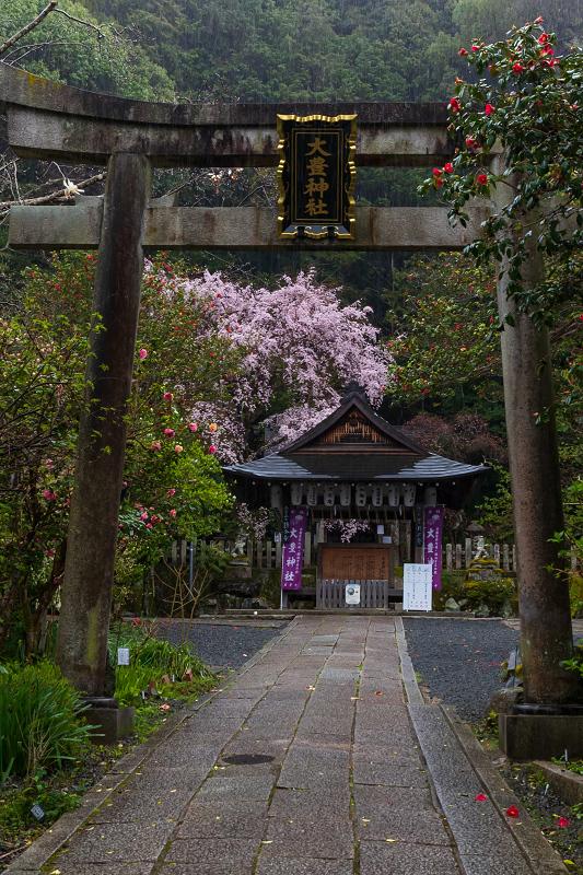 2021桜咲く京都 雨中のしだれ桜(大豊神社)_f0155048_23285072.jpg