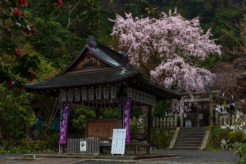 2021桜咲く京都 雨中のしだれ桜(大豊神社)_f0155048_23300007.jpg