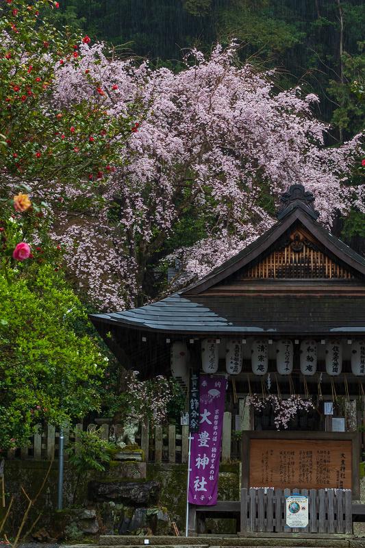 2021桜咲く京都 雨中のしだれ桜(大豊神社)_f0155048_23301792.jpg