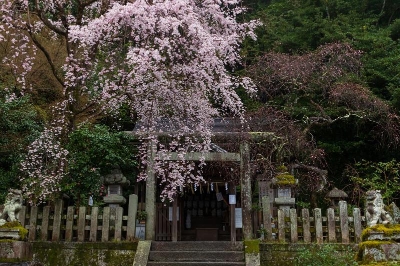 2021桜咲く京都 雨中のしだれ桜(大豊神社)_f0155048_23303890.jpg