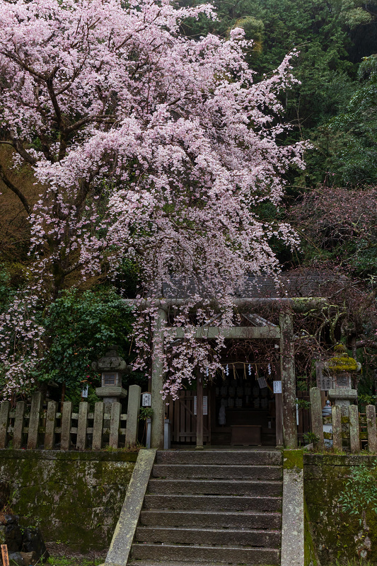 2021桜咲く京都 雨中のしだれ桜(大豊神社)_f0155048_23305748.jpg