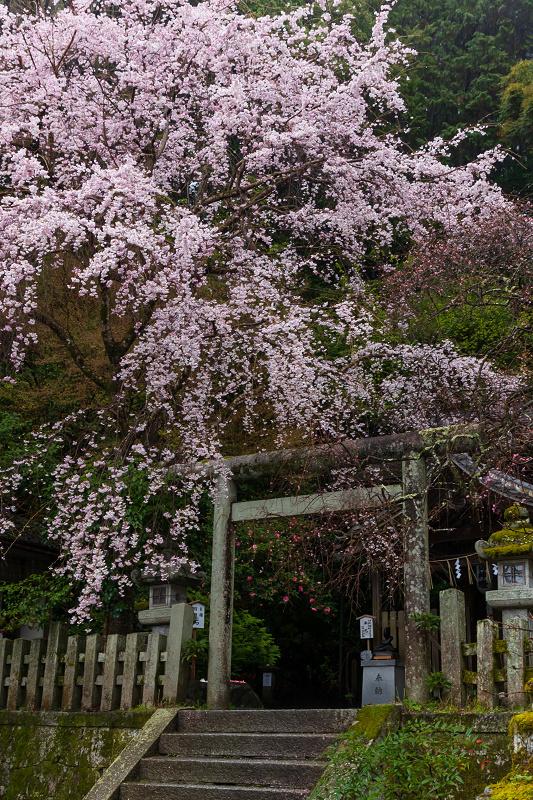 2021桜咲く京都 雨中のしだれ桜(大豊神社)_f0155048_23323884.jpg