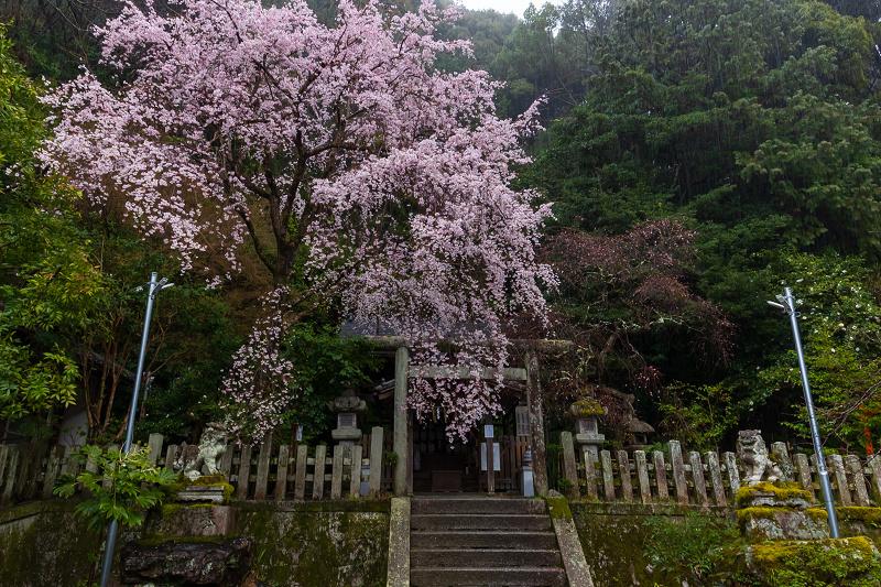 2021桜咲く京都 雨中のしだれ桜(大豊神社)_f0155048_23331103.jpg