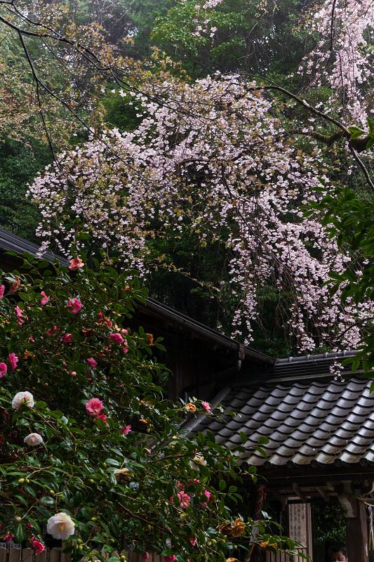 2021桜咲く京都 雨中のしだれ桜(大豊神社)_f0155048_23332209.jpg