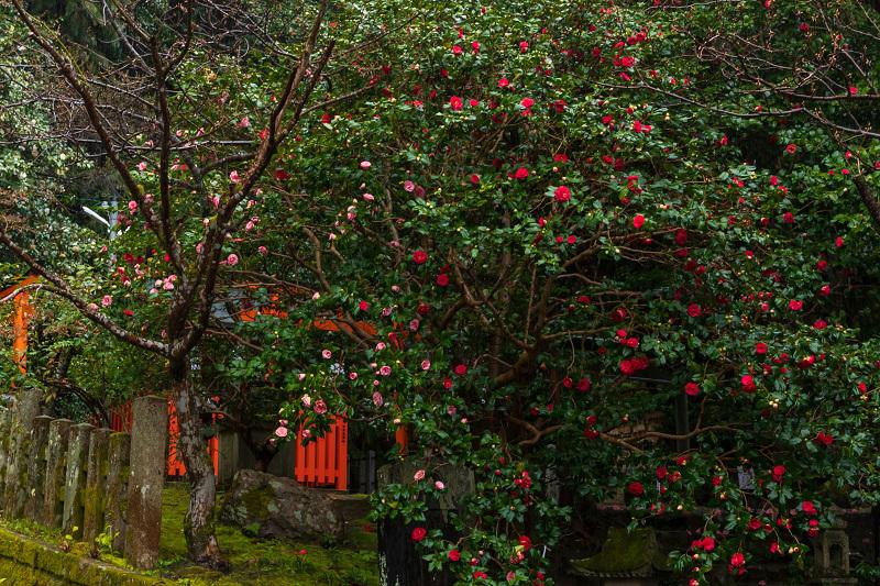 2021桜咲く京都 雨中のしだれ桜(大豊神社)_f0155048_23344386.jpg