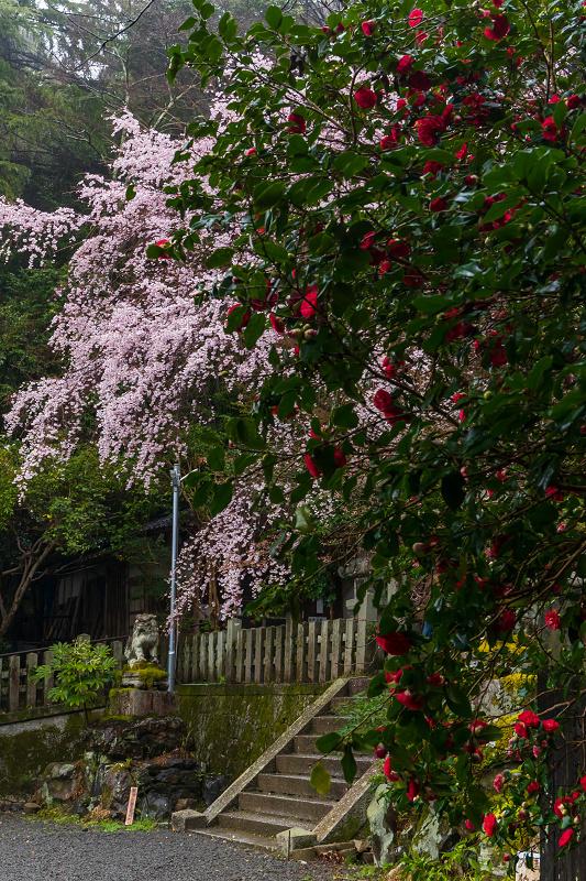 2021桜咲く京都 雨中のしだれ桜(大豊神社)_f0155048_23345657.jpg
