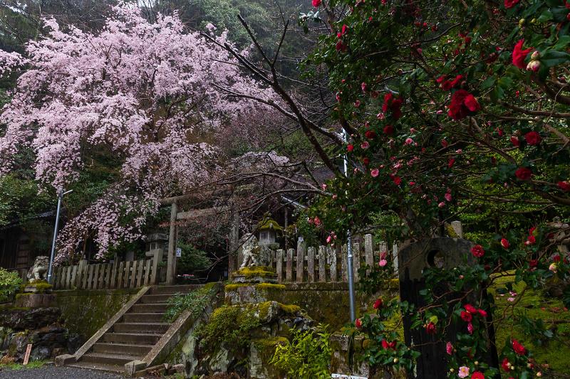 2021桜咲く京都 雨中のしだれ桜(大豊神社)_f0155048_23352963.jpg