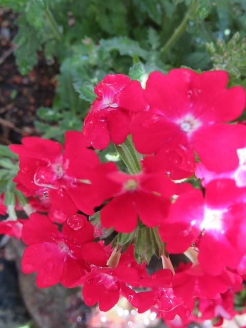 春の庭先に咲く花々_f0329849_21151230.jpg