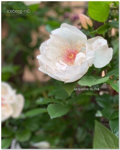 薔薇 ジャクリーヌデュプレ_e0366161_20033262.jpeg