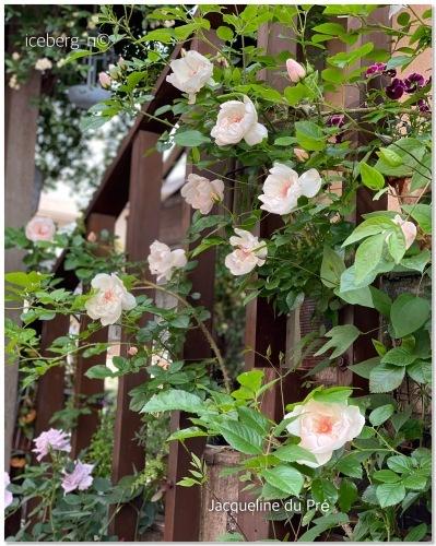 薔薇 ジャクリーヌデュプレ_e0366161_20035598.jpeg