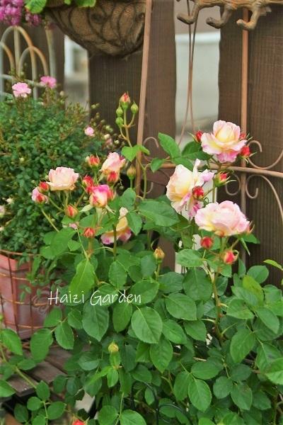 絞り咲きも カップ咲きも ヒラヒラさんも~♪_a0394182_14051181.jpg