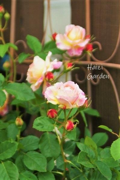 絞り咲きも カップ咲きも ヒラヒラさんも~♪_a0394182_14051710.jpg