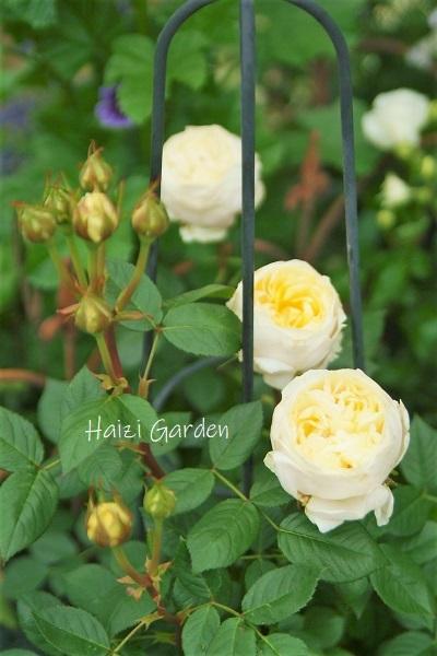 絞り咲きも カップ咲きも ヒラヒラさんも~♪_a0394182_14061645.jpg