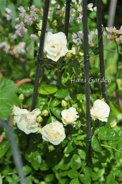 絞り咲きも カップ咲きも ヒラヒラさんも~♪_a0394182_14062214.jpg