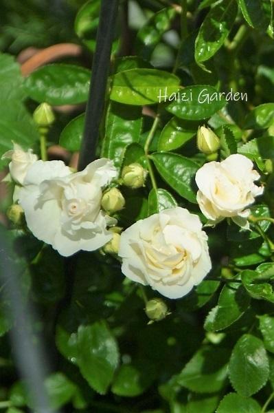 絞り咲きも カップ咲きも ヒラヒラさんも~♪_a0394182_14062744.jpg