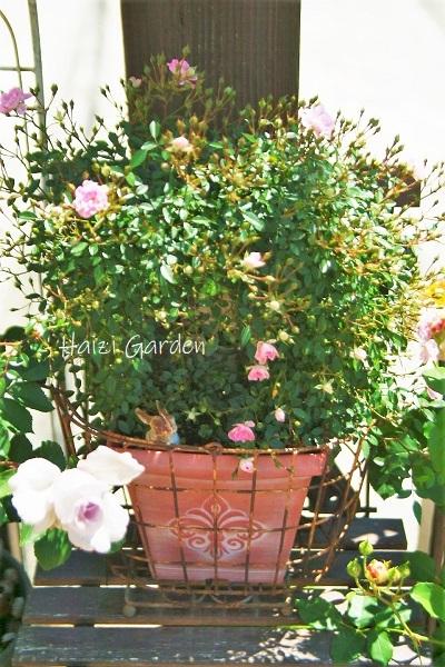 絞り咲きも カップ咲きも ヒラヒラさんも~♪_a0394182_14073354.jpg