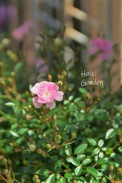 絞り咲きも カップ咲きも ヒラヒラさんも~♪_a0394182_14074549.jpg