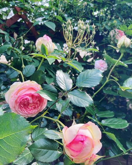 5月はじまりの中庭より。〜バラが咲き始めました。〜_d0077603_11514635.jpg