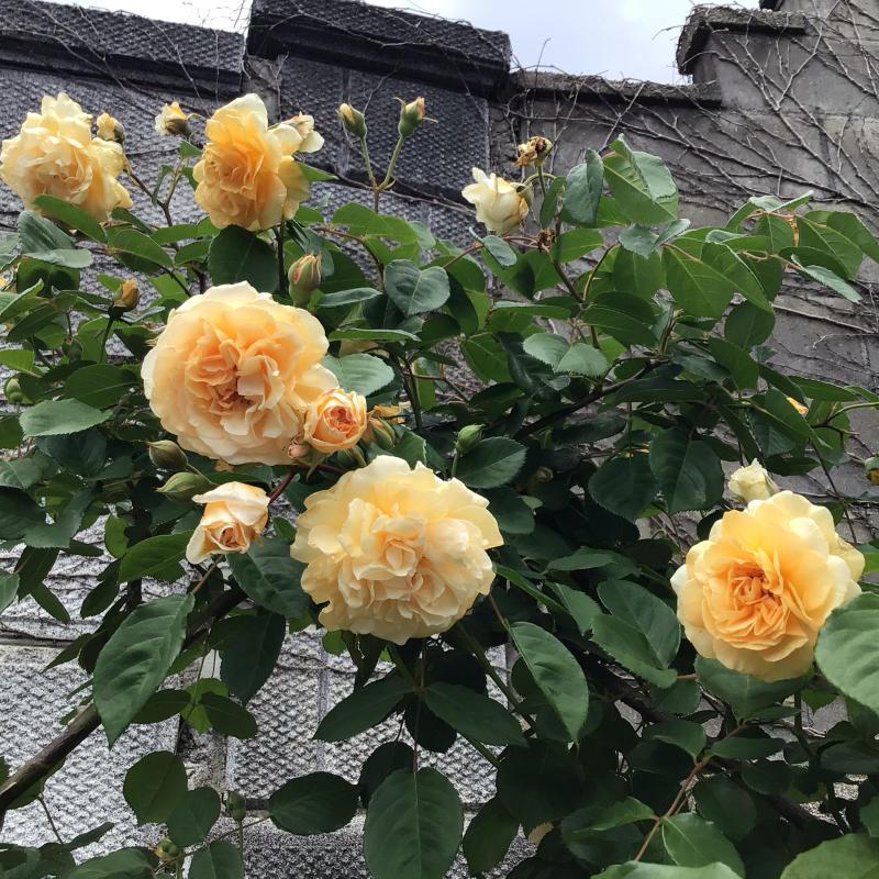 「もうサッサと咲いとこ」っと思ったのか風が強くても咲き出すオールドローズと曲_c0404712_00153066.jpg