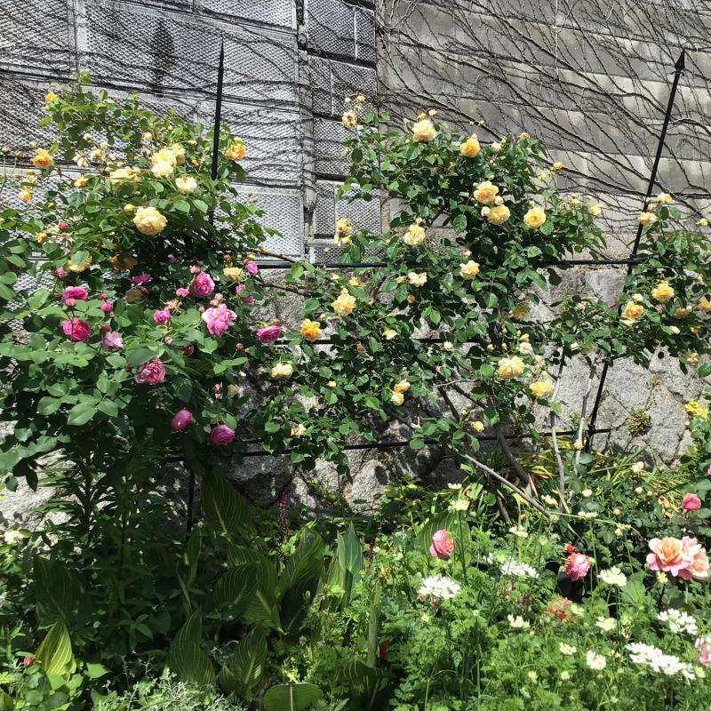 「もうサッサと咲いとこ」っと思ったのか風が強くても咲き出すオールドローズと曲_c0404712_00164977.jpg