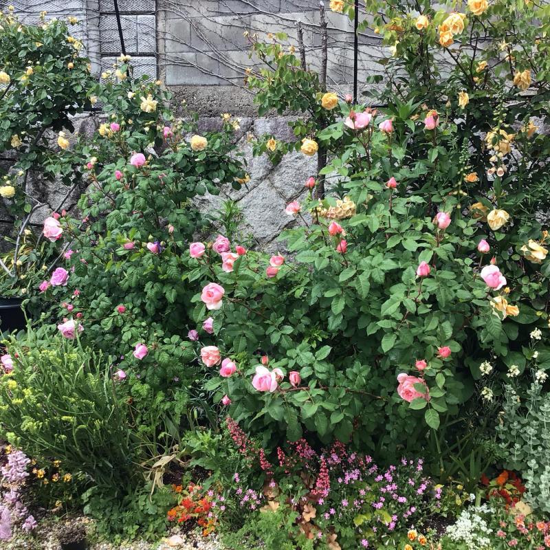 「もうサッサと咲いとこ」っと思ったのか風が強くても咲き出すオールドローズと曲_c0404712_00174913.jpg