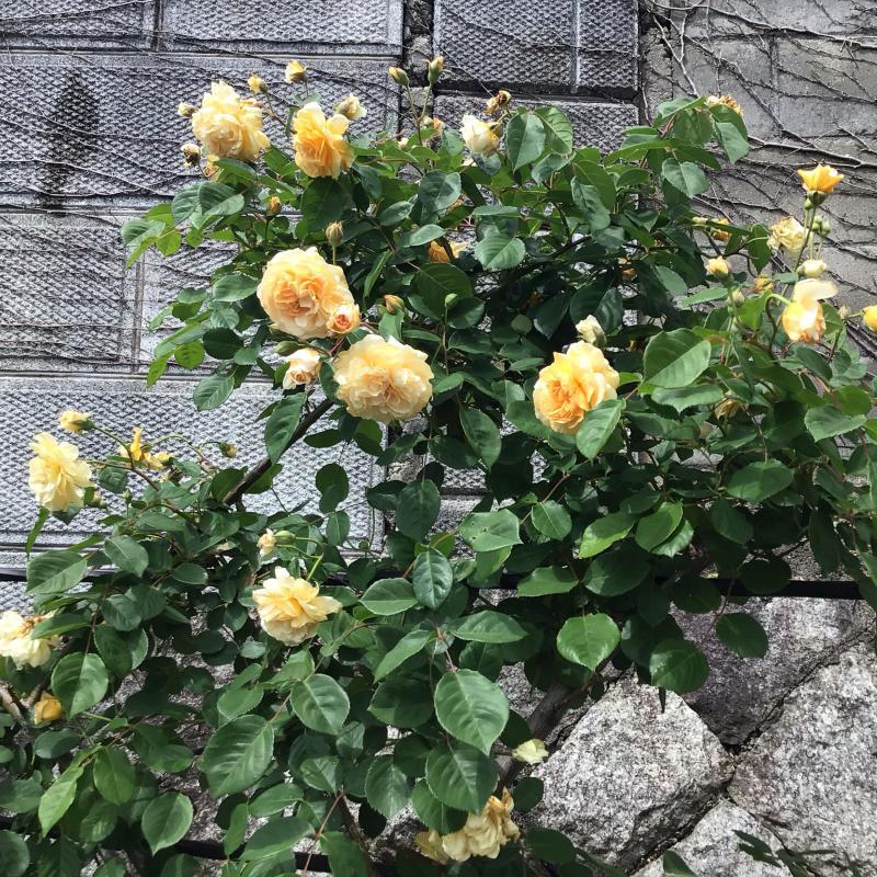 「もうサッサと咲いとこ」っと思ったのか風が強くても咲き出すオールドローズと曲_c0404712_00175079.jpg