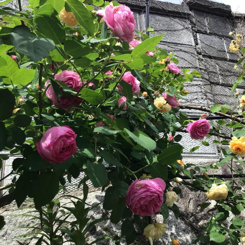 「もうサッサと咲いとこ」っと思ったのか風が強くても咲き出すオールドローズと曲_c0404712_00175293.jpg