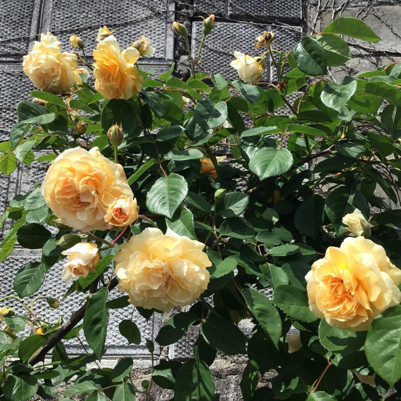 「もうサッサと咲いとこ」っと思ったのか風が強くても咲き出すオールドローズと曲_c0404712_00175432.jpg