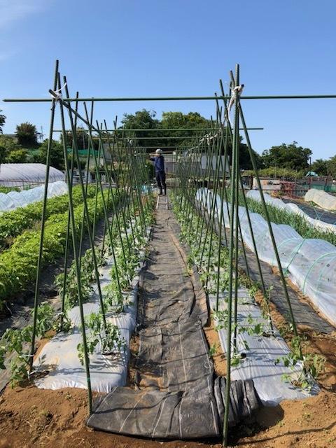 トマトの櫓完成&ルッコラ イタリアンパセリ ラヴァネッロの播種・・蚕豆2種 グリンピース スナップエンドウ豆 カモミール ズッキーニの花の収穫です_c0222448_14473788.jpg