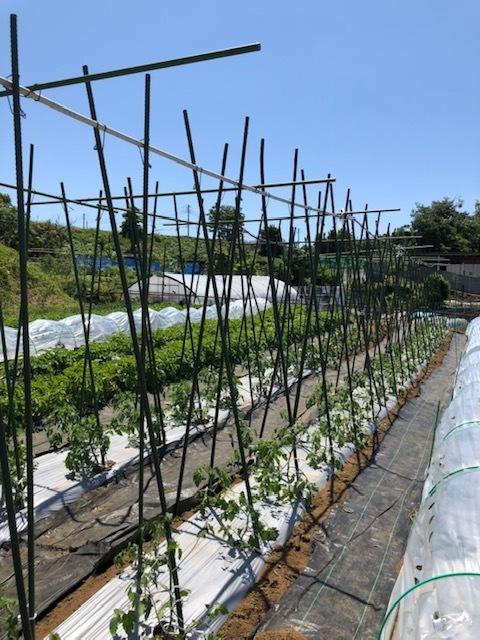 トマトの櫓完成&ルッコラ イタリアンパセリ ラヴァネッロの播種・・蚕豆2種 グリンピース スナップエンドウ豆 カモミール ズッキーニの花の収穫です_c0222448_14482812.jpg