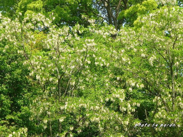 マメ科の樹木と野草_c0137342_19531432.jpg