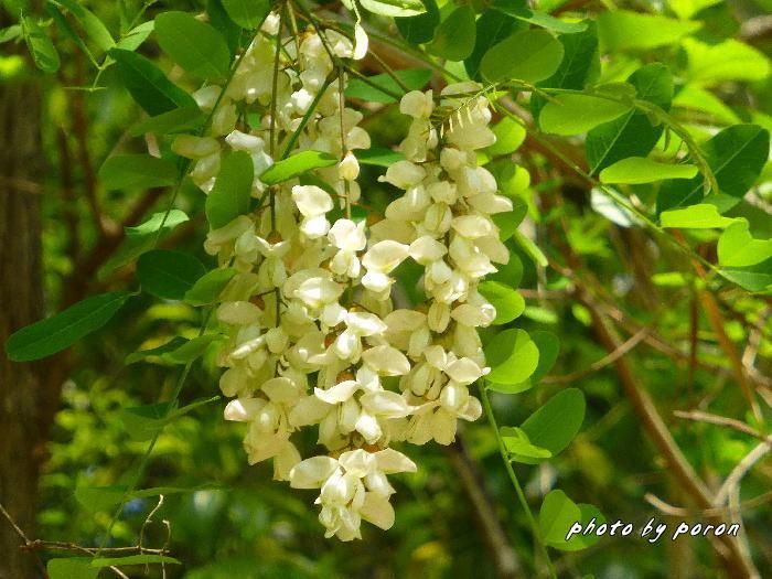 マメ科の樹木と野草_c0137342_19532860.jpg