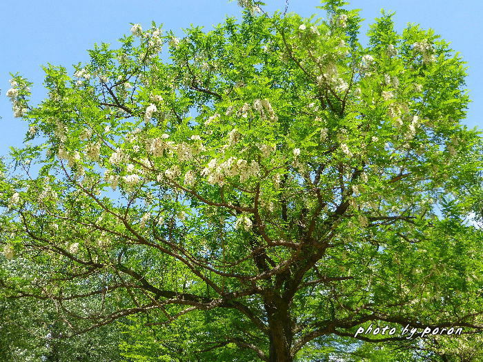 マメ科の樹木と野草_c0137342_19551022.jpg