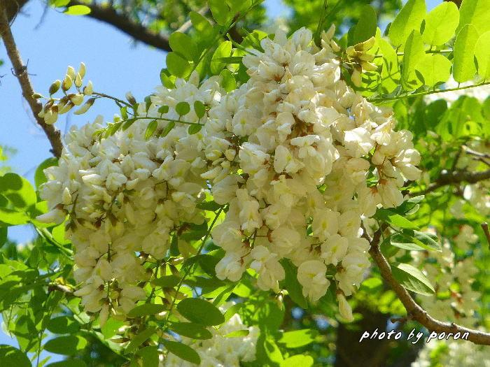マメ科の樹木と野草_c0137342_19553569.jpg