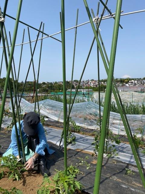 トマトの脇芽摘み 追加バジリコ&人参の播種_c0222448_14305359.jpg