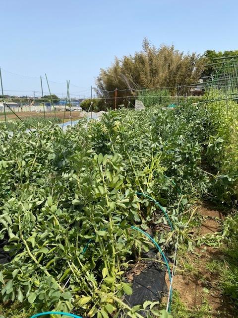 トマトの脇芽摘み 追加バジリコ&人参の播種_c0222448_14310802.jpg
