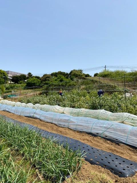 トマトの脇芽摘み 追加バジリコ&人参の播種_c0222448_14311514.jpg