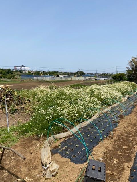 トマトの脇芽摘み 追加バジリコ&人参の播種_c0222448_14312371.jpg